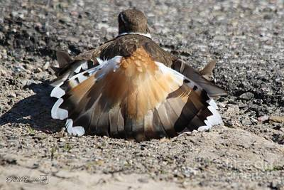 Photograph - Male Killdeer Decoy by J McCombie