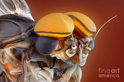 Male Mayfly Art Print by Matthias Lenke
