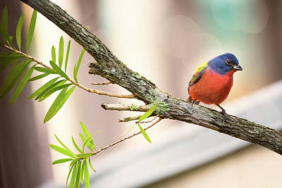Male Painted Bunting Art Print