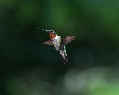 Photograph - Male Ruby Throated Hummingbird by Brenda Jacobs