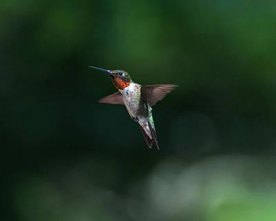 Male Ruby Throated Hummingbird Art Print by Brenda Jacobs