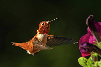 Photograph - Male Rufous Hummingbird by Inge Riis McDonald