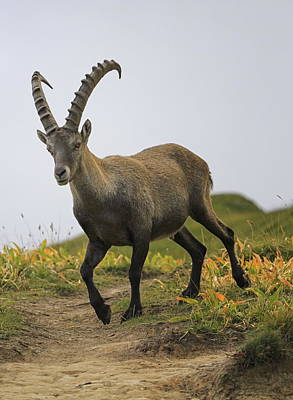 Photograph - Male Wild Alpine, Capra Ibex, Or Steinbock by Elenarts - Elena Duvernay photo