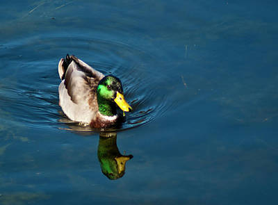 Art Print featuring the photograph Mallard by Bill Barber