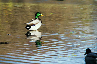 Photograph - Mallard Drake by Edward Peterson