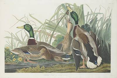Mallard Duck Drawing - Mallard Duck by Rob Dreyer