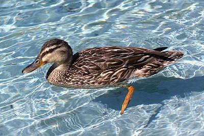 Mallard Duck Art Print by Stephen Athea