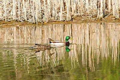 Bald Eagle Photograph - Mallard Ducks by John Ohm