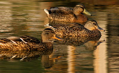 Mallards Swimming In The Water At Magic Hour Art Print
