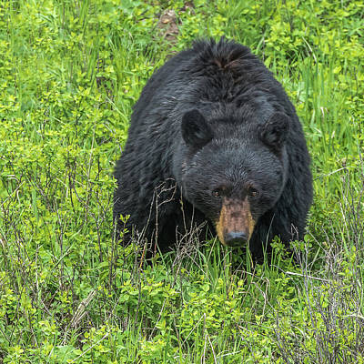 Photograph - Mama Bear Means Business by Yeates Photography