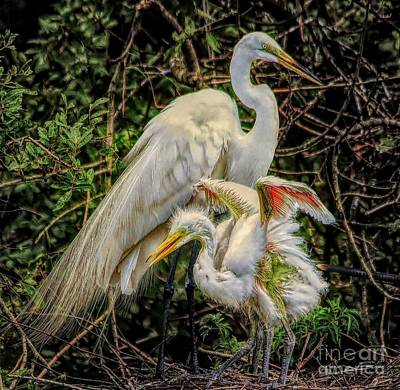 Photograph - Mama Egret With Baby by Paulette Thomas