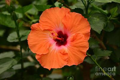 Photograph - Mandarin Wind Hibiscus by Jeannie Rhode