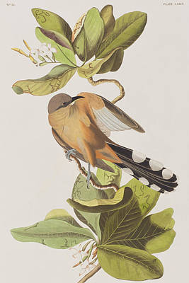 Ornithology Drawing - Mangrove Cuckoo by John James Audubon
