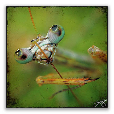 Mantis 19 Art Print by Ingrid Smith-Johnsen