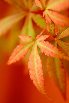 Photograph - Maple Leaves by Douglas Pulsipher