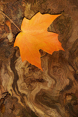 Photograph - Maple Swirl by Leda Robertson