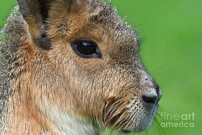 Cavy Photograph - Mara Or Patagonian Hare by Dr. Hinrich B�semann