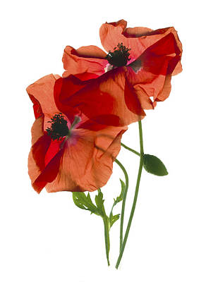 Margie's Poppy Duo Art Print