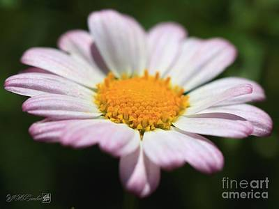 Photograph - Marguerite Daisy Named Petite Pink by J McCombie