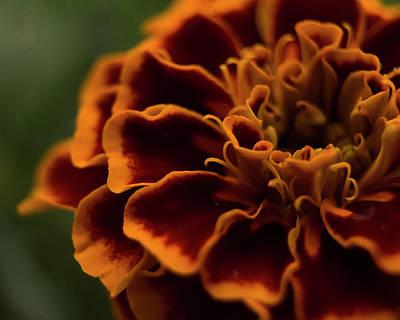 Photograph - Marigold by Erica Kinsella