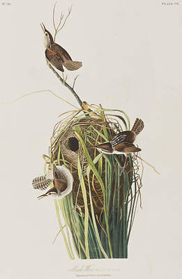 Wren Drawing - Marsh Wren  by John James Audubon