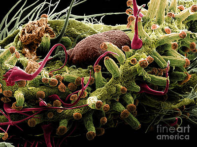 Plant Micrograph Photograph - Mature Cannabis Bud, Sem by Ted Kinsman