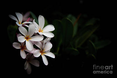 Photograph - Maui Plumerias by Kelly Wade