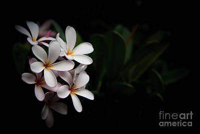 Photograph - Maui Plumerias by Kelly Wade