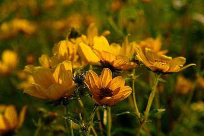 Photograph - Maximilian Sunflowers by Kathryn Meyer