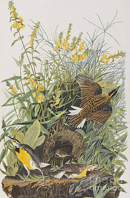 Meadow Lark Art Print by John James Audubon