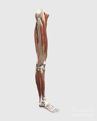 Human Joint Digital Art - Medical Illustration Of Human Leg by Stocktrek Images