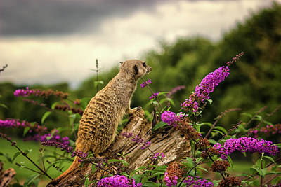 Meerkats Photograph - Meerkat Lookout by Martin Newman