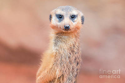 Photograph - Meerkat by Stephanie Hayes