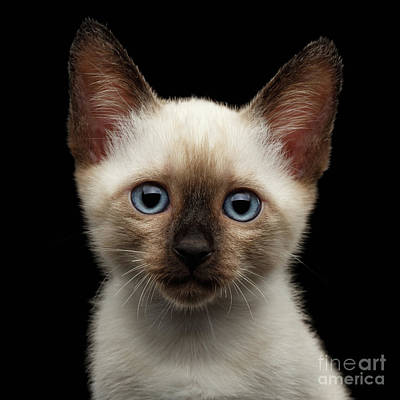 Mekong Bobtail Kitty With Blue Eyes On Isolated Black Background Art Print