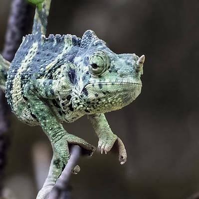 Photograph - Mellers Chameleon Portrait by William Bitman