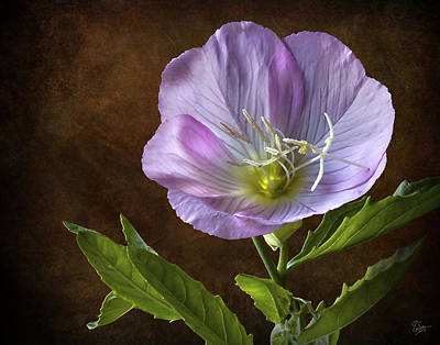 Photograph - Mexican Evening Primrose by Endre Balogh