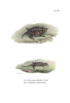 Drawing - Mexican Plateau Horned Lizard And Light-bellied Bunchgrass Lizard by Friedrich August Schmidt
