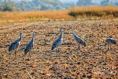 Photograph - Migrating Sandhill Cranes by Robert Bales