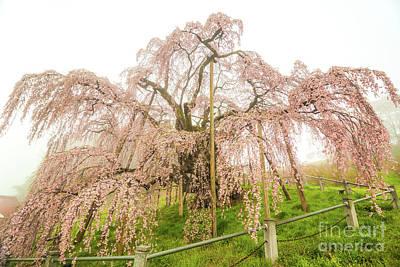 Photograph - Miharu Takizakura Weeping Cherry02 by Tatsuya Atarashi