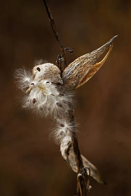 Photograph - Milkweed Pod by Elsa Marie Santoro