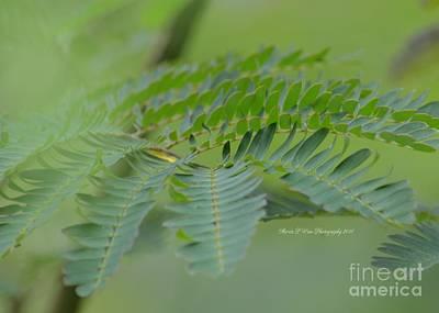 Photograph - Mimosa Green by Maria Urso