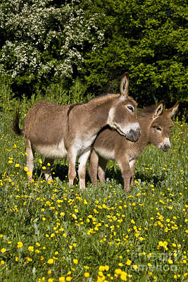 Donkey Foal Photograph - Miniature Donkey And Foal by Jean-Louis Klein and Marie-Luce Hubert