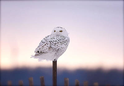 Photograph - Female Snow Owl by Kay Jantzi