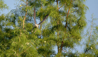 Mississippi Kite In Flight With Nest Material Art Print by Roy Williams