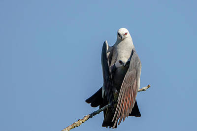 Mississippi Kite Photograph - Mississippi Kite by Mike Timmons