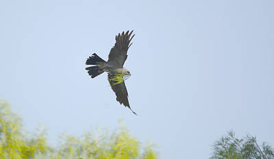 Mississippi Kite Photograph - Mississippi Kite With Nest Material by Roy Williams