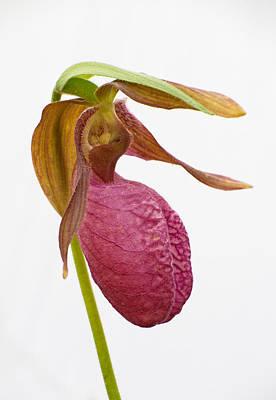 Photograph - Moccasin Flower by Jim Zablotny