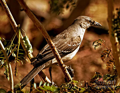 Photograph - Mockingbird by Robert Bales