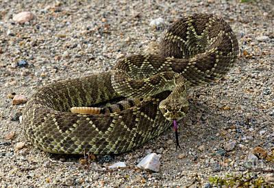 Photograph - Mohave Green Rattlesnake Striking Position 4 by Bob Christopher