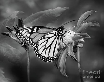 Photograph - Monarach Butterfly Enjoying Some Dahlia Nectar by Ann Jacobson